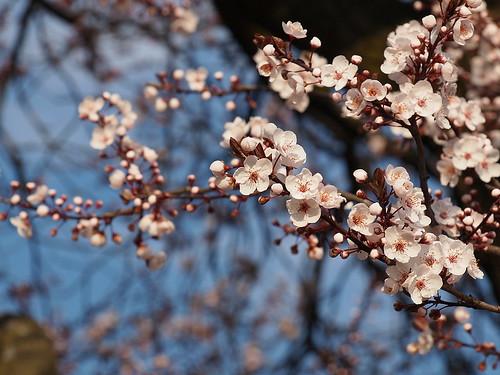 Baumblüte 4
