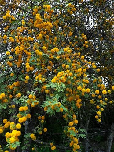 Huisache blooms at Big Oaks