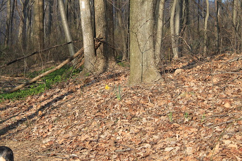Manassas Gap Hike - Lone Daffodil