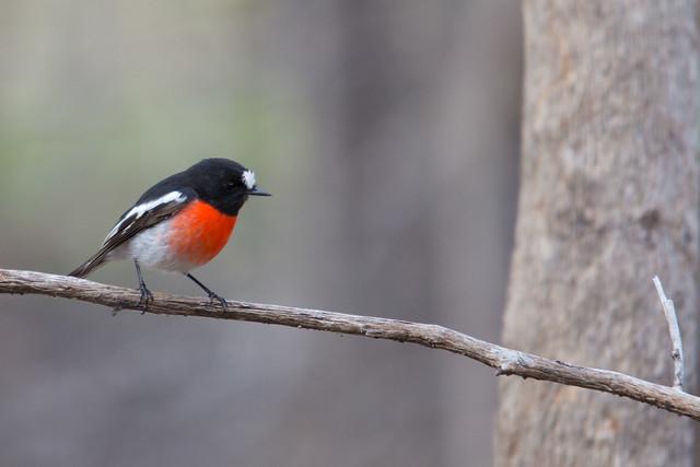 Scarlet Robin 2012-05-06 (_MG_7484)