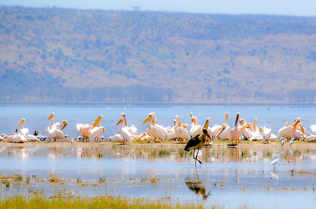 Lake Nakuru Birds