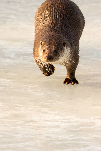 front view of an otter running across a frozen lake.  Its right foot is raised mid-action, and it has an intent look on its face.