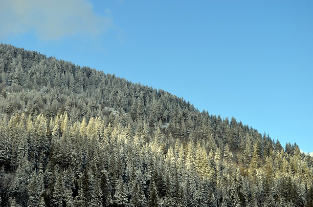 Snow Covered Trees Along i5