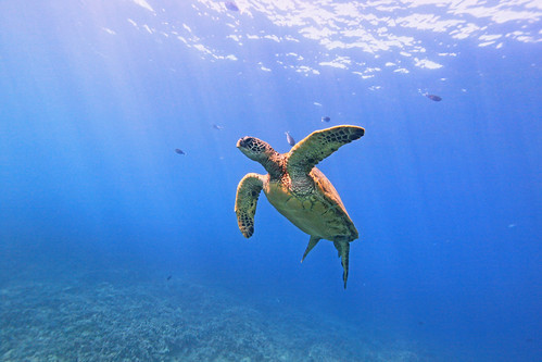green sea turtle in the open