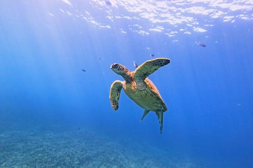 green sea turtle in the open
