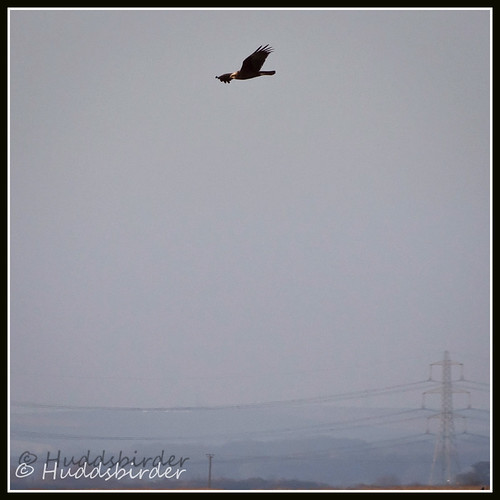 Marsh Harrier ♀