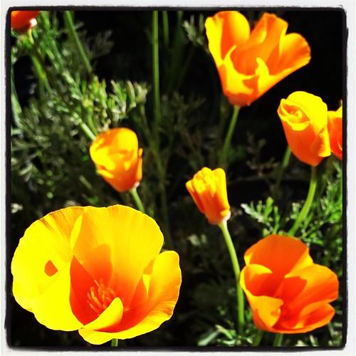 Poppies Instagram