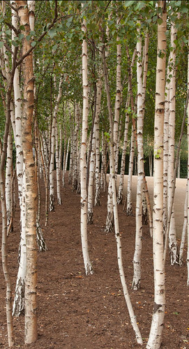 Birch stand - strong vertical lines are a compositional element