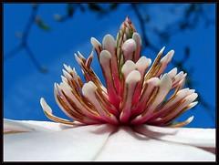 IMG_0096 Magnolia Pyramid 3-9-12