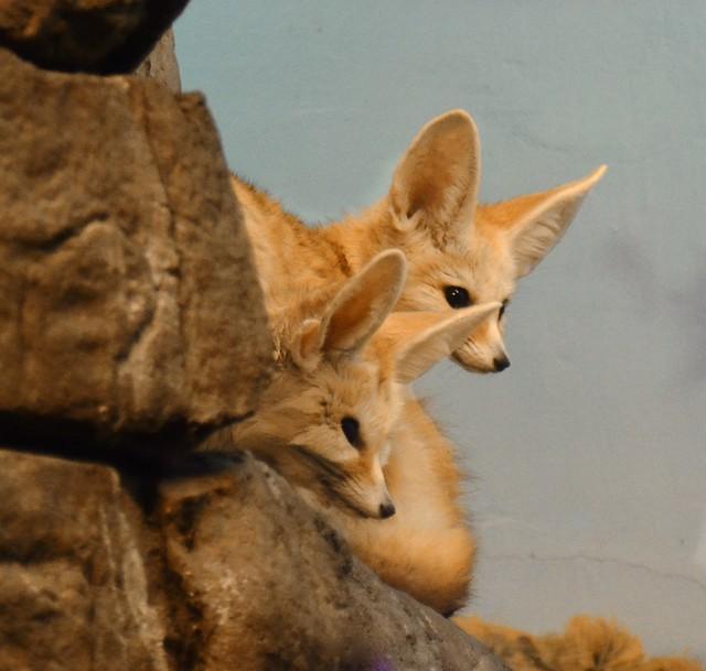 Fennec Foxes Watch!