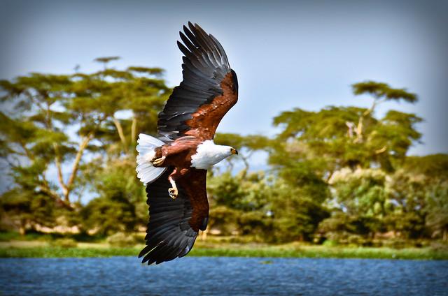 Kenya Hawk