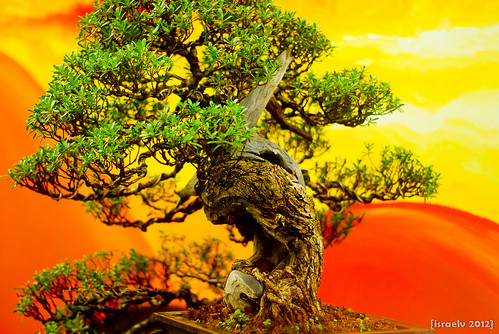 Bonsai #2 (Juniper Tree?) by {israelv}