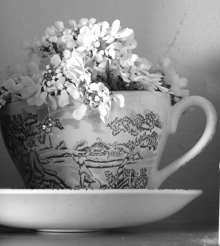 Iberis sempervirens (Candy Tuft) in a teacup