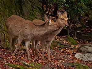 Sacred deer roaming free in Miyajima.