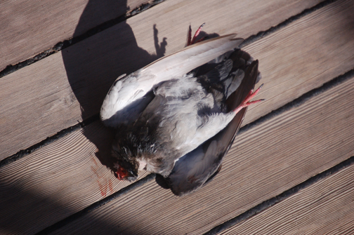 decapitated pigeon