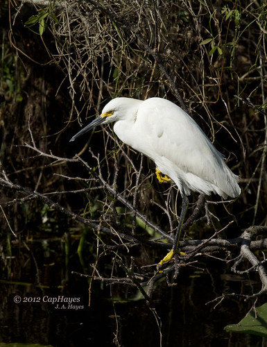 2012 02-24 Snowy Egret_Shark Valley IMG_1223