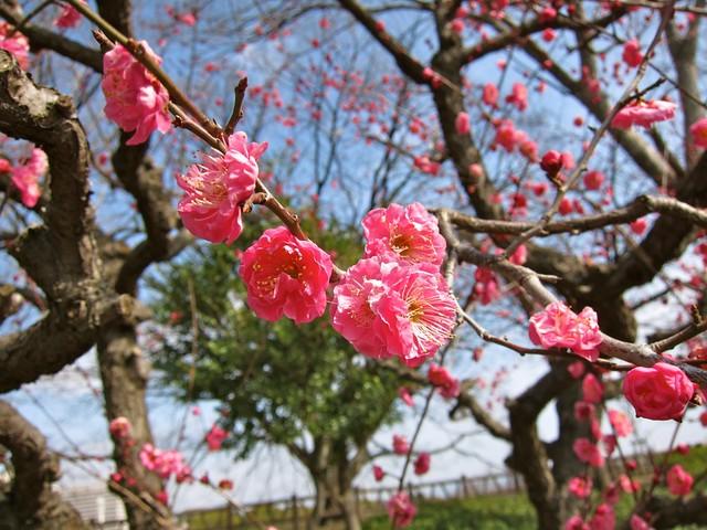 Plum blossoms!