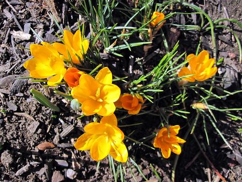 Crocus blooming in February