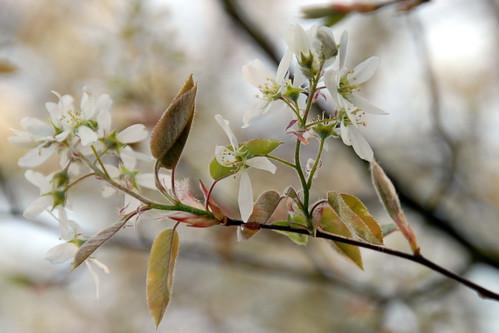 Arbres en fleurs HD-012