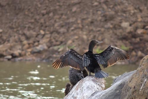 Little Black Cormorant 2012-04-07 (_MG_6232)