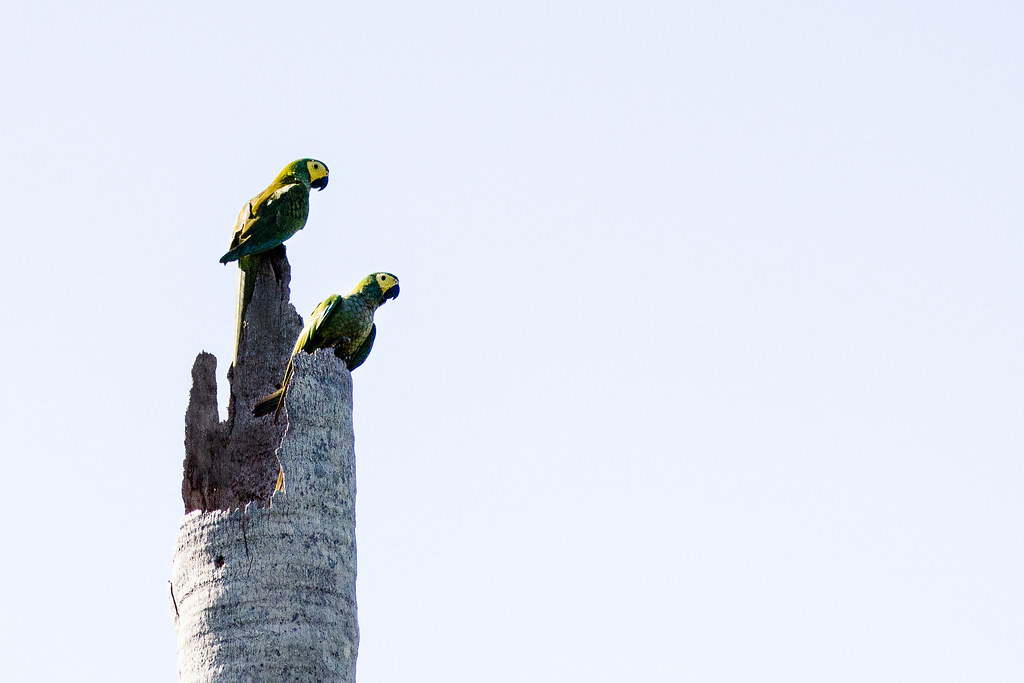 Red-bellied macaws