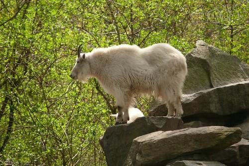 Beautiful Mountain Goats! (Schneeziegen)