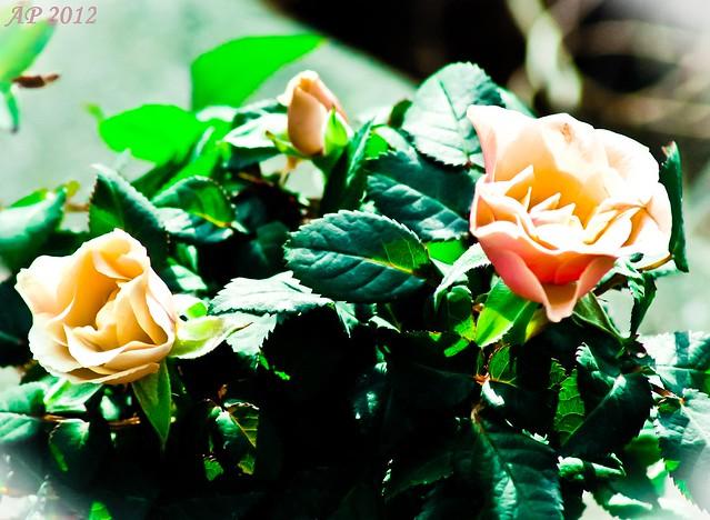 Trois boutons de rose / Three Rosebuds