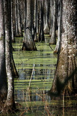 ACE Basin Swamp