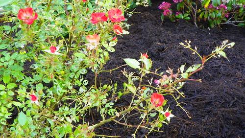 Rose Slug Damage