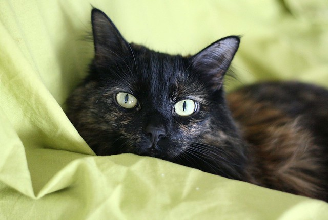 Our tortie, Lucy, hangs out on the dropcloth. The dropcloth I needed at the time (of course).