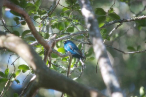 Blue Bunting (22 April 2012)
