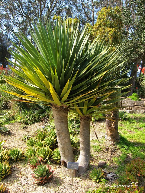 Dracaena Draco 'Dragon Tree'