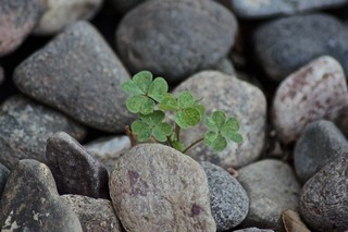 Weekly Photo 17/52 for 2013: Clover Among The Rocks by Kristen Koster on Flickr