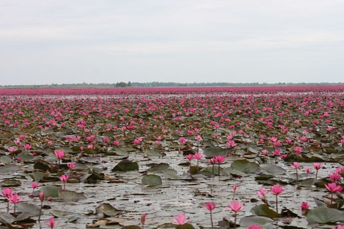 20120113_1688_pink-water-lilies