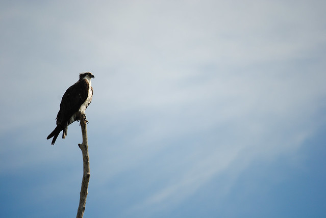 Osprey Perch