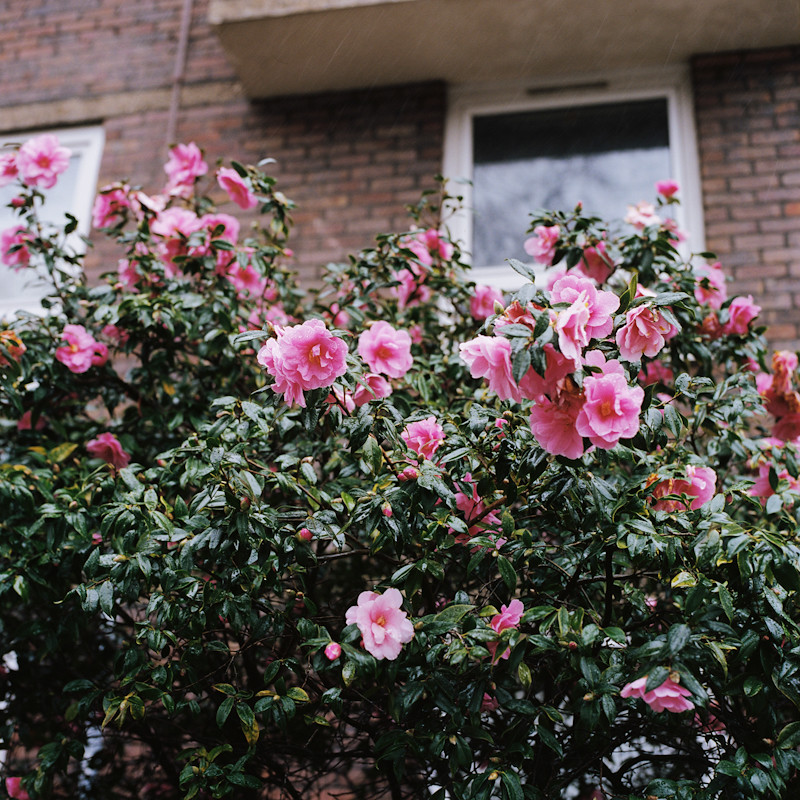 """""""Camellias, SW11"""""""
