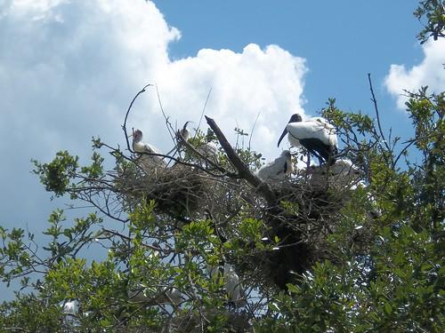 wood stork babies 2012