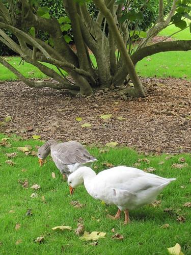 Cute ducks at the park