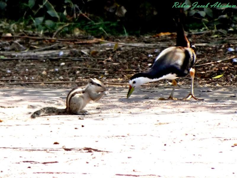 Chipmunk & White breasted water hen