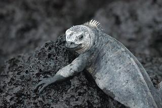 Marine Iguanas. Galápagos. Photo by Ben Tavener.