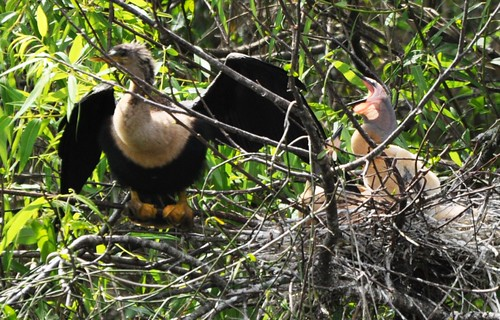 Juvenile Anhinga in Nest Calling Out to Mamma, Shark Valley, Everglades National Park, Fla., Feb. 27, 2012