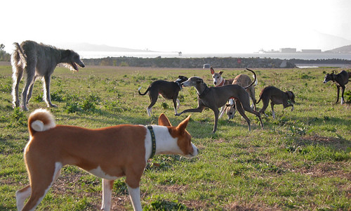 6 December 2011 Bowpi scopes out the sighthounds