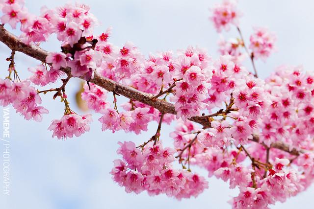 櫻怒放 Cherry Blossoms, Taichung