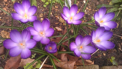 Crocus 'Giant Ruby' in bloom