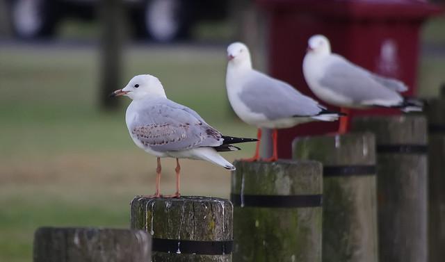 Gulls...waiting..