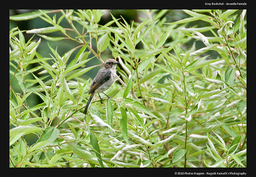 Grey Bushchat - Juvenile Female