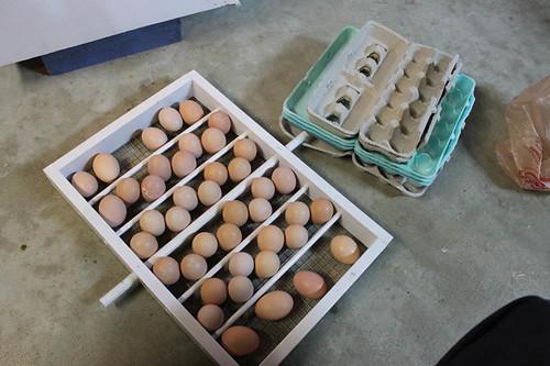 Loading eggs