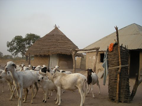 Goats in a West African village