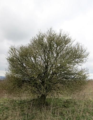 Hawthorn on Wetley Moor