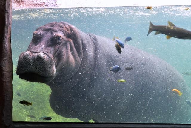 Hippo Tank